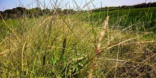 Wildes Gras in den Galeeren lizenzfreie stockbilder