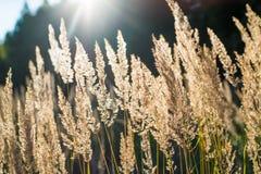Wildes Gras in den Sonnenstrahlen stockbilder