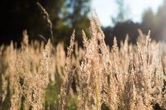 Wildes Gras in den Sonnenstrahlen lizenzfreie stockfotografie