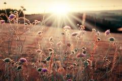 Wildes Gras in der Natur auf einem Sonnenunterganghintergrund Lizenzfreies Stockbild