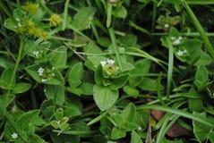 Wildes Gras mit weißen Blumen lizenzfreie stockfotografie