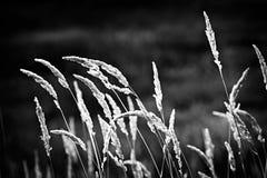 Wildes Gras in Schwarzweiss Stockbilder