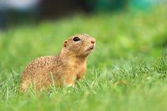 Wildes Grundeichhörnchen Lizenzfreies Stockfoto