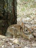 Wildes Häschen-Kaninchen Lizenzfreie Stockbilder