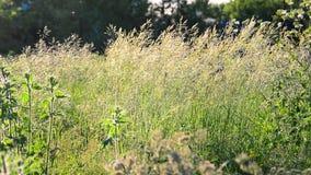 Wildes hohes Gras, das in Wind beeinflußt stock video footage