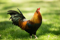 Wildes Huhn Feral Rooster Public Park Oahus Hawaii Stockbilder