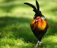 Wildes Huhn Feral Rooster Public Park Oahus Hawaii Lizenzfreie Stockfotos