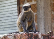 Wildes indisches aktives des Affen und mutig Lizenzfreie Stockfotos