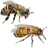 Wildes Insekt der exotischen Biene in einer Aquarellart lokalisiert stock abbildung