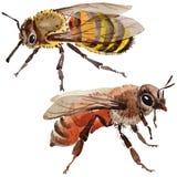 Wildes Insekt der exotischen Biene in einer Aquarellart lokalisiert vektor abbildung