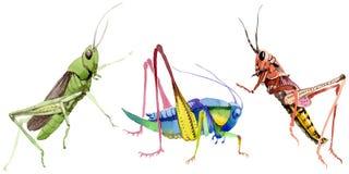 Wildes Insekt der exotischen Grillen in einer Aquarellart lokalisiert Lizenzfreie Stockfotos