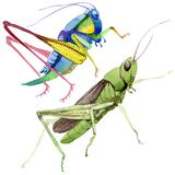 Wildes Insekt der exotischen Grillen in einer Aquarellart lokalisiert Lizenzfreie Stockbilder