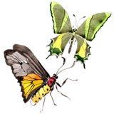 Wildes Insekt der seltenen Schmetterlinge in einer Aquarellart lokalisiert Stockbilder