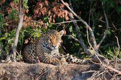 Wildes Jaguar auf einer Flussbank Stockfotografie