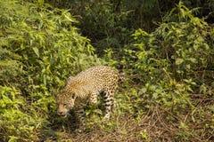 Wildes Jaguar, das über Unkräuter und Reben tritt Lizenzfreies Stockfoto