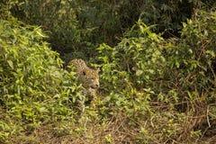 Wildes Jaguar, das heraus vom Dschungel blickt Lizenzfreie Stockfotos