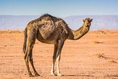 Wildes Kamel in der Wüste Sahara im Erg Chigaga, Marokko lizenzfreies stockbild