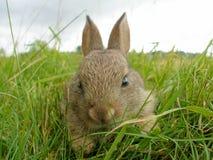 Wildes Kaninchen Stockbilder