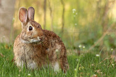 Wildes Kaninchen. lizenzfreie stockfotografie