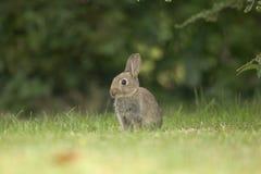 Wildes Kaninchen Lizenzfreies Stockbild