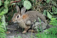 Wildes Kaninchen lizenzfreie stockfotos