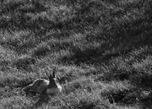 Wildes Kaninchen Lizenzfreie Stockbilder