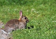 Wildes Kaninchen auf Gras. Stockfotografie