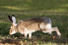 Wildes Kaninchen auf höchster Alarmstufe Stockfotografie