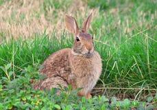 Wildes Kaninchen im Gras Stockbilder