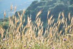 Wildes Korn in der Hintergrundbeleuchtung Lizenzfreies Stockfoto