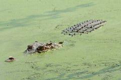 Wildes Krokodil Lizenzfreie Stockfotos