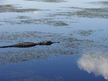 Wildes Krokodil Stockfoto