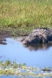 Wildes Krokodil Lizenzfreies Stockbild