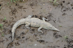 Wildes Krokodil Stockbilder