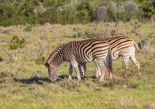 Wildes Leben Plains Zebras bei Addo Elephant Park in Südafrika Lizenzfreie Stockfotos