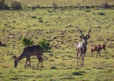 Wildes lebendes größeres kudu bei Addo Elephant Park in Südafrika Stockbild