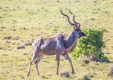 Wildes lebendes größeres kudu bei Addo Elephant Park in Südafrika Stockfotos