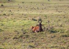 Wildes lebendes rotes Hartebeests bei Addo Elephant Park in Südafrika Stockbilder