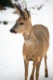 Wildes liebes im Garten im Winter Lizenzfreie Stockfotografie