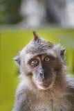 Wildes Makaken-Affe-Porträt Lizenzfreie Stockbilder