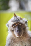 Wildes Makaken-Affe-Porträt Stockfotos
