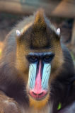 Wildes Mandrill Stockbild