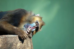 Wildes Mandrill Lizenzfreie Stockfotos