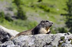 Wildes marmotte Stockfoto