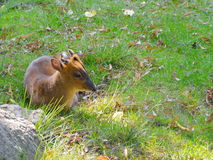 Wildes muntjak in der Natur Lizenzfreie Stockbilder