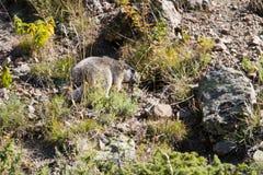 Wildes Murmeltier, das auf Felsen, Alpenberge, Frankreich sich versteckt Lizenzfreies Stockbild