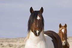 Wildes Mustang-Überwachen Lizenzfreie Stockfotos