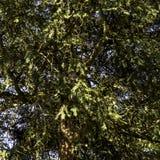 Wildes Ostgraueichhörnchen im Winter, der in einer Niederlassung - Pumpenraum/Jephson-Gärten, königlicher Leamington-Badekurort s lizenzfreies stockfoto