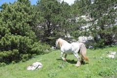 Wildes Pferd auf dem Biokovo-Berg Stockbilder