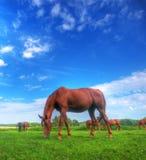 Wildes Pferd auf dem Feld Lizenzfreies Stockfoto